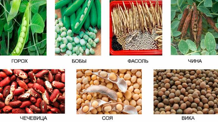 плохо бобовые растения названия список помогает