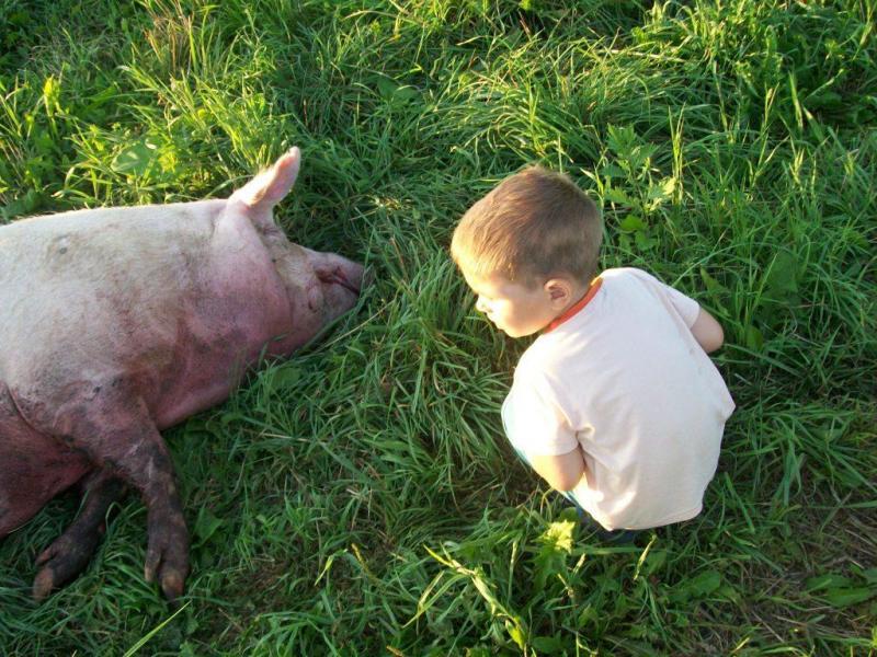 Картинка убитая свинья